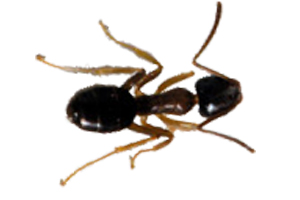 odorous house ant control